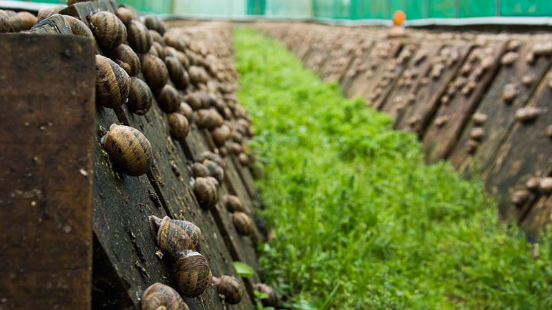 Agribusiness---Snail-farming